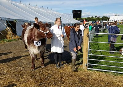 westmorland county show cattle