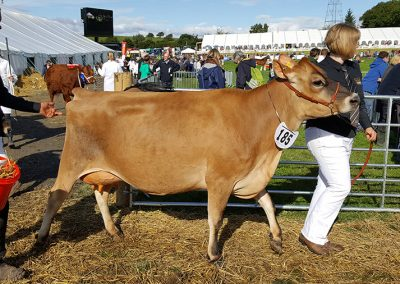 westmorland show 2017 jersey cow